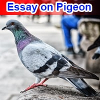 Essay on Pigeon in English