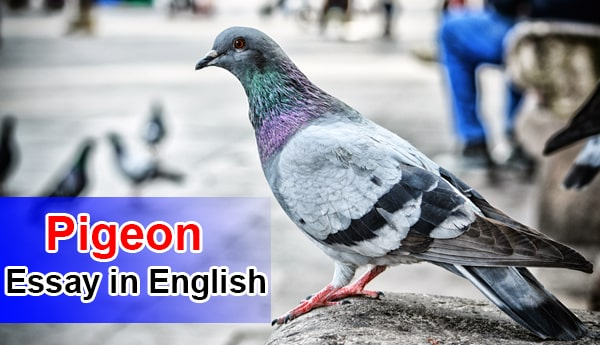 Essay on Pigeon