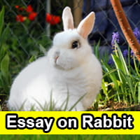 Essay on Rabbit in English