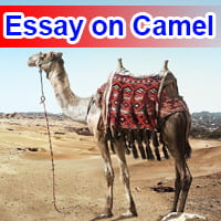Essay on Camel in English