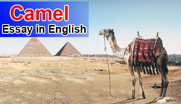Essay on Camel